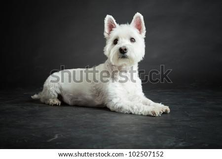 White Westhighland westie terrier isolated on black background - stock photo