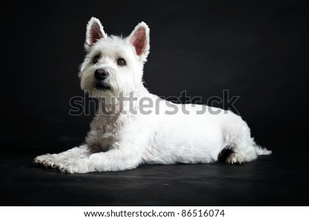 White Westhighland westie terrier lying down isolated on black background - stock photo