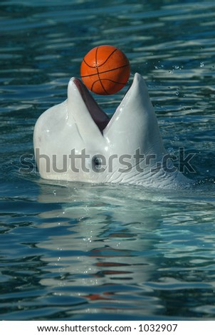 White whale also known as beluga (Delphinapterus leucas) playing basketball. - stock photo