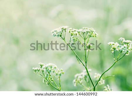 White wild carrot flowers (Queen Annes lace) in a lush green summer meadow with sunlight and shallow focus - stock photo