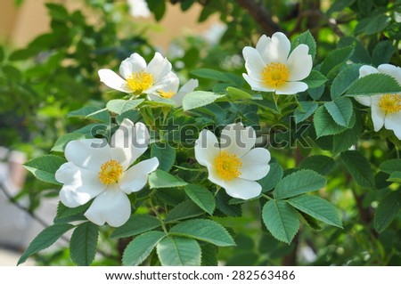White Wild rose flower aka Rosa acicularis or prickly wild rose or prickly rose or bristly rose or Arctic rose or Rosa canina flower - stock photo