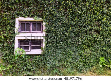 White windows covered with ivy.