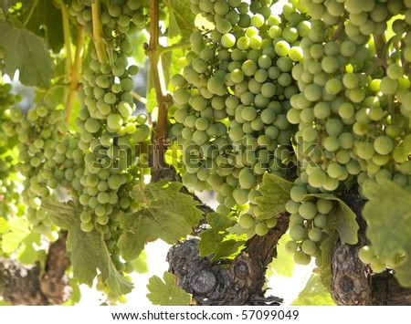 White Wine Grapes - stock photo