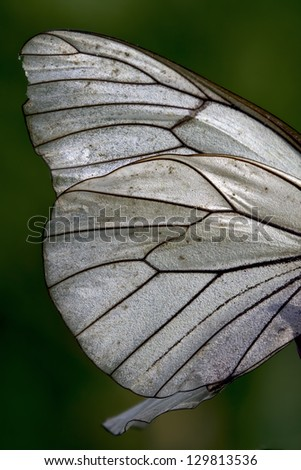 white wing of a  butterfly and his line - stock photo