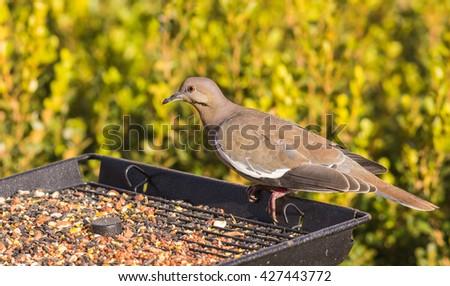 White-winged Dove (Zenaida asiatica) perched on tray-type bird feeder with green foliage background. - stock photo