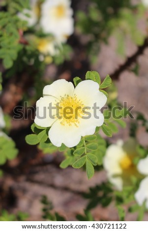 """White """"Winged Thorn Rose"""" flower (or Shrub Rose) in St. Gallen, Switzerland. Its Latin name is Rosa Sericea subsp. Omeiensis f. Pteracantha, native to China. - stock photo"""