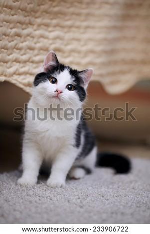 White with black a kitten. Small predator. Small cat. - stock photo