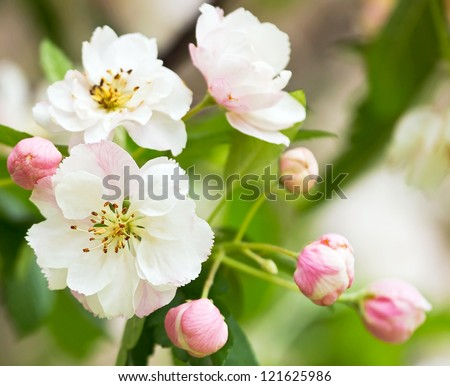 White with pink flowers of the cherry blossoms on a spring day in the park - stock photo