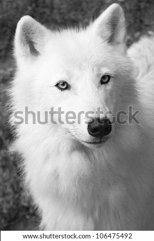 white wolf - stock photo