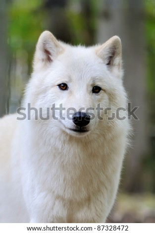 White wolf in forest - stock photo