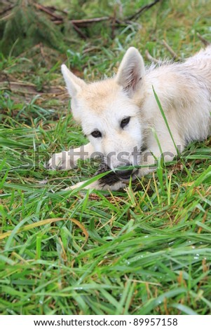 white wolf pup - stock photo