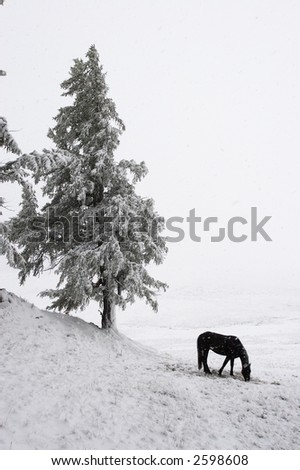 White wood, horse and snow. Altay. Russia. - stock photo