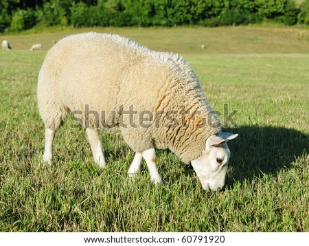 White Woolly Sheep Grazing in a Green Field - stock photo