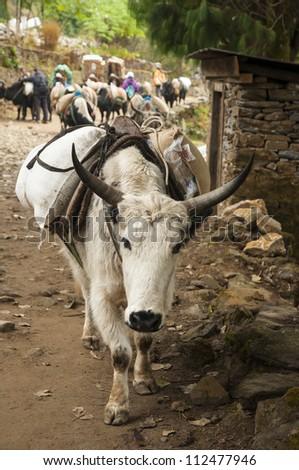 White yak - stock photo