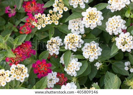 White-yellow and red lantana blooming with green leaf background - stock photo