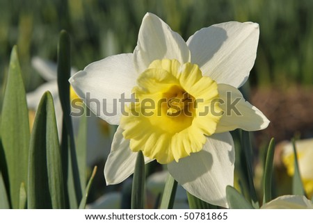 White-yellow daffodil - stock photo