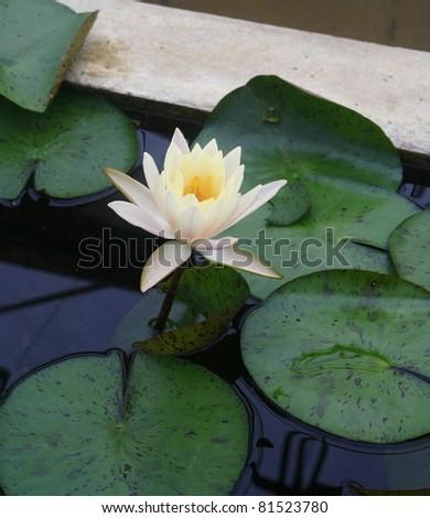 White yellow lotus - stock photo