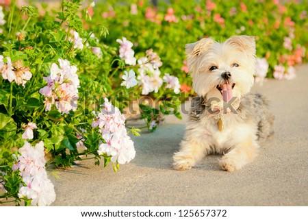 White Yorkshire Terrier/Maltese smiling near flowers - stock photo