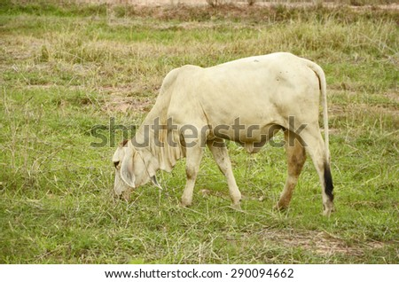 White young bull in the field