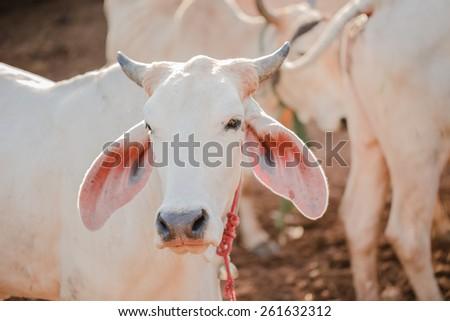 White young calf in farm - stock photo