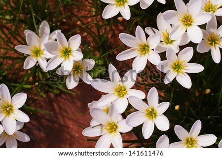 white Zephyranthes Lily flowers from the upper view - stock photo