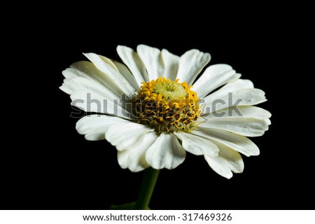 White zinnia isolated on a black background. - stock photo