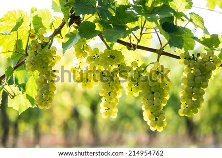 Whites grapes (Pinot Blanc) in the vineyard, Alsace, France - stock photo