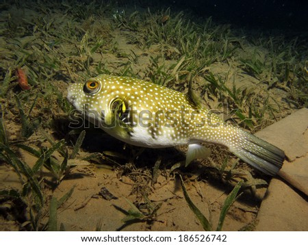 Whitespotted puffer (Arothron hispidus) on seagrass - stock photo