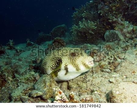 Whitespotted pufferfish - stock photo