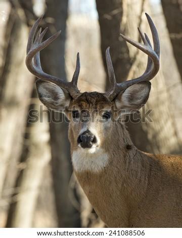 Whitetail Buck - stock photo