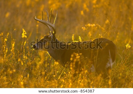Whitetail buck at daybreak - stock photo