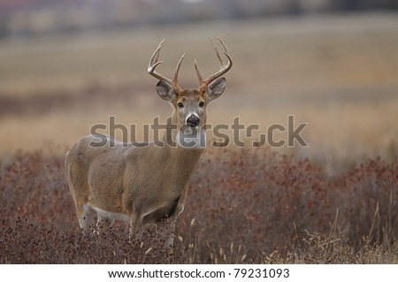Whitetail Buck Deer in autumn, standing in prairie habitat - stock photo