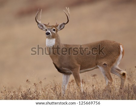 Whitetail Buck Deer midwestern deer hunting Illinois Ohio Wisconsin Minnesota Michigan Indiana Iowa Missouri Kentucky Nebraska Dakotas white tail / white-tailed / tailed / white-tail - stock photo