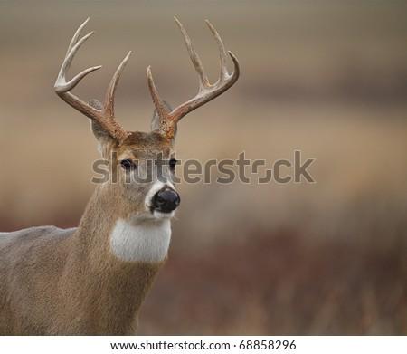 Whitetail Buck Deer, portrait, on a National Wildlife Refuge, Montana, USA - stock photo