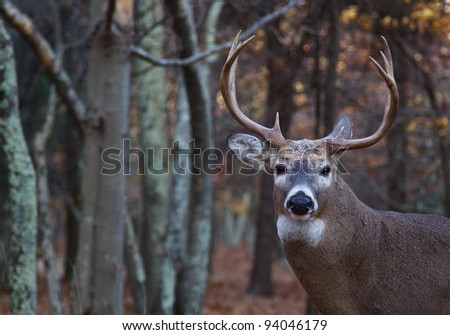 Whitetail Buck Deer, Portrait with Woodland Background - stock photo