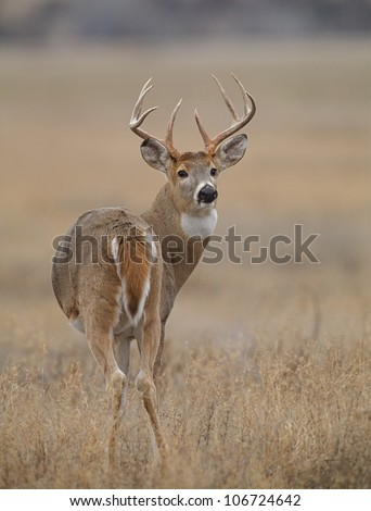 Whitetail Buck Deer, turning back to face camera - stock photo