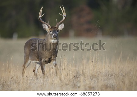 Whitetail Buck Deer, walking through field in the Appalachian Mountains - stock photo