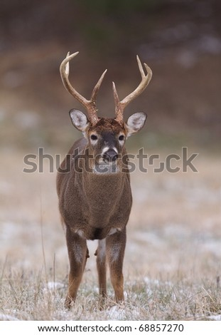 Whitetail Buck Deer with a very tall brow tine, standing alert facing camera in grassland habitat - stock photo