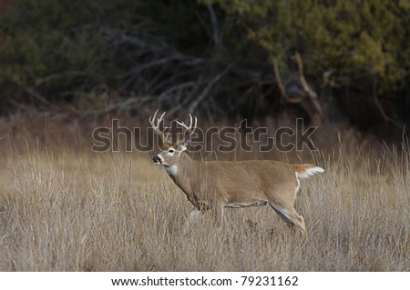Whitetail Buck Deer with large antlers walking through habitat with head turned and tail partially raised - stock photo