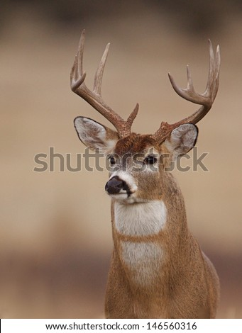 Whitetail Buck Deer with unusual double white chest and throat patch Midwestern midwest big game deer hunting White-tailed deer stag Iowa Ohio Illinois Indiana Wisconsin Michigan Minnesota Missouri - stock photo