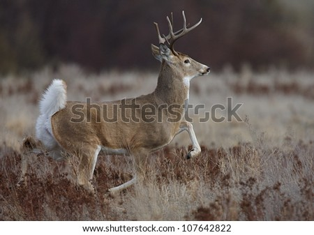"Whitetail Buck doing the ""Rut Strut"" - unique rutting action / behavior - stock photo"