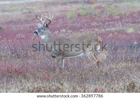 Whitetail buck in autumn field with colorful blueberry bushes.