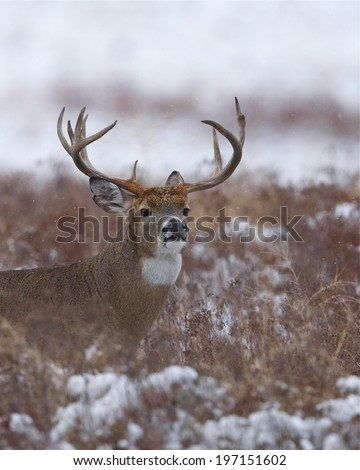 Whitetail Buck in Winter Snow - trophy rack deer hunting season midwest trophy buck archery rifle gun hunt  - stock photo