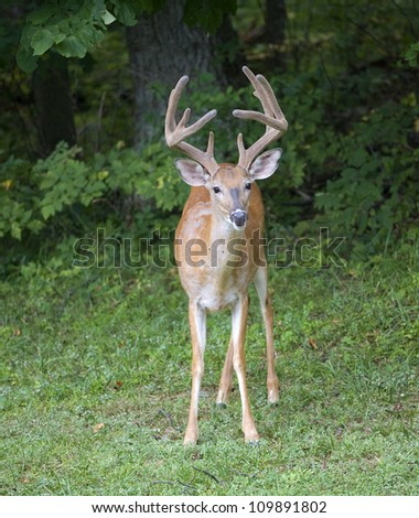Whitetail buck near a dark forest with its antlers in velvet - stock photo