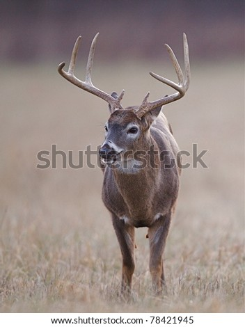 Whitetail Buck standing in autumn grass, Cades Cove, Tennessee - stock photo