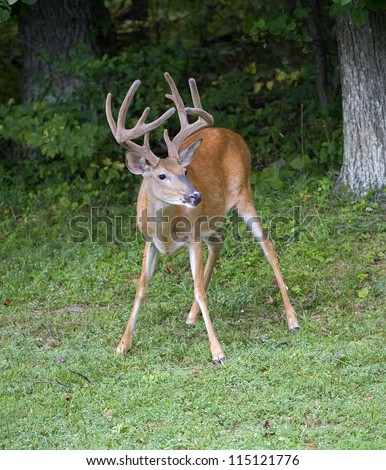 Whitetail buck that looks like it is chewing on some straw - stock photo