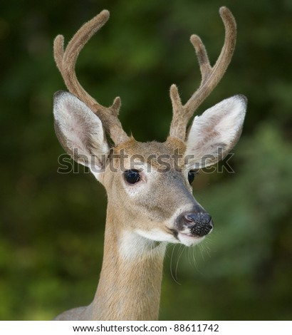 Whitetail buck with six point antlers that are in velvet