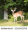 Whitetail buck with six points in velvet near a forest edge - stock photo