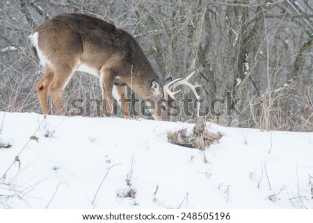 Whitetail Deer Buck browsing for food  in a woods in winter snow. - stock photo