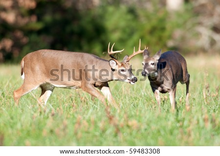 Whitetail deer buck chasing doe as part of the rut - stock photo